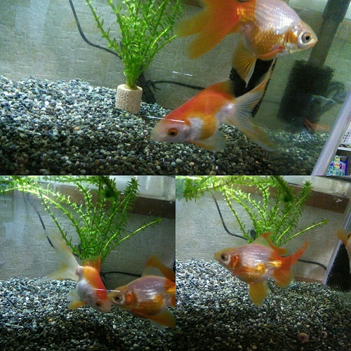 20170814 金魚