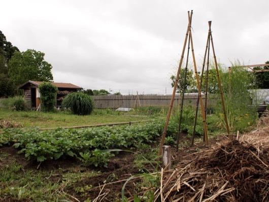 竹製トマトの支柱