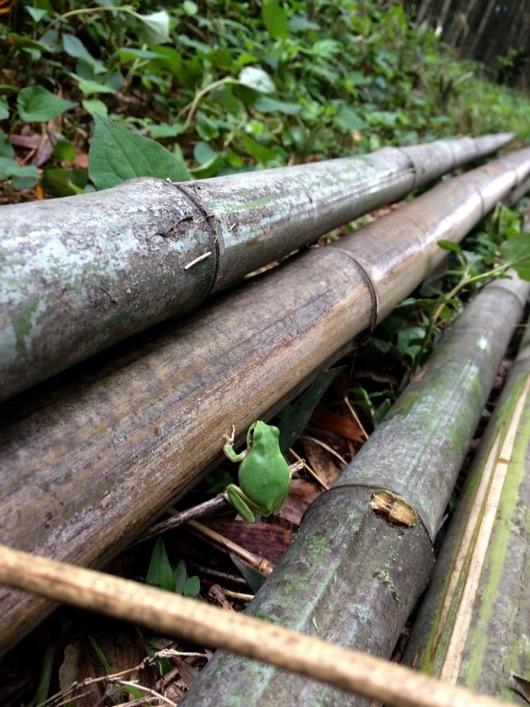 竹林のアマガエル