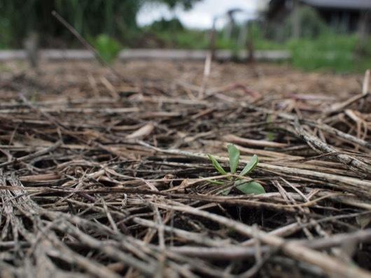 落花生の芽吹き