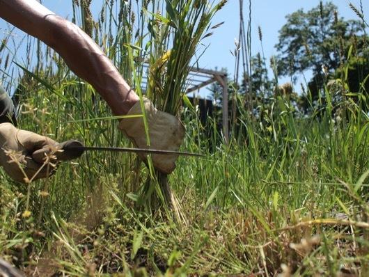 小麦の刈り取り