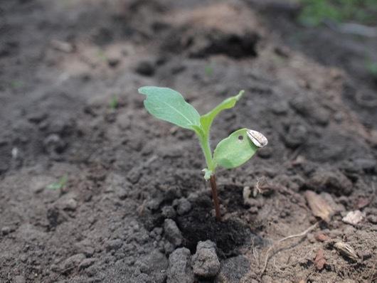 ひまわりの苗植え付け