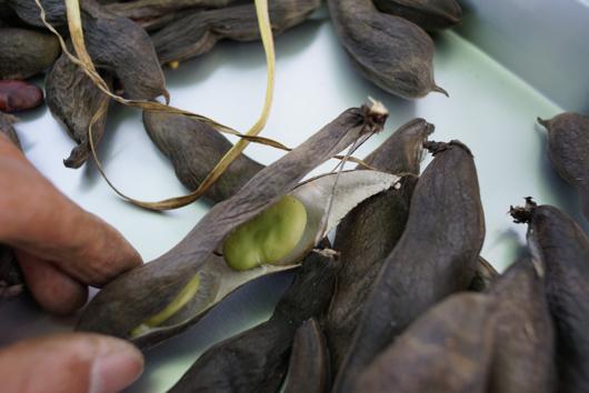 そら豆の採種
