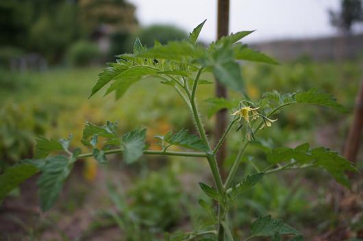 トマトの第1花房は芽かきの合図