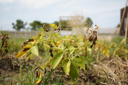 枯れ落ちたジャガイモの葉