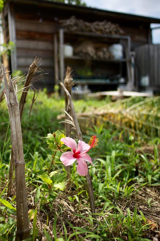 ハイビスカス咲きました