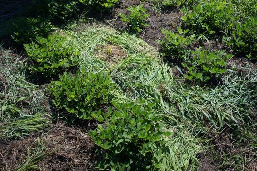 ピーナッツ畑に草マルチ