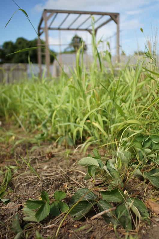 ストロベリーフィールドの草刈りbefore