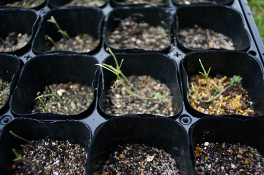 房総フィールドガーデン 芽キャベツの芽を食い尽くされる