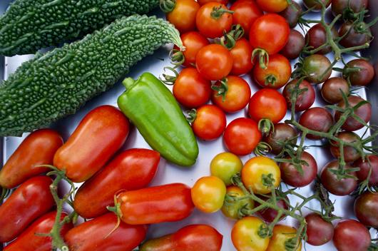 房総フィールドガーデン 夏野菜の収穫