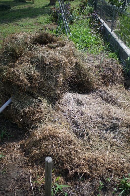 雑草堆肥 2週間経過