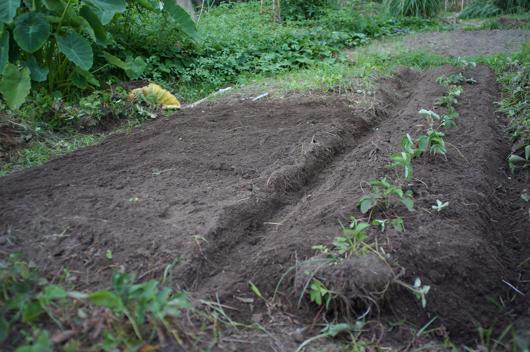 ニンニク畑の準備