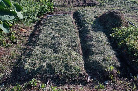 にんにく畑に刈り取った草を被せる