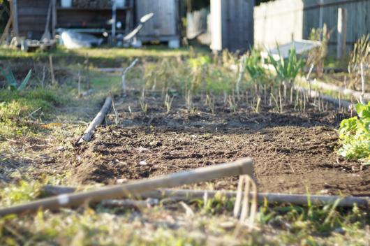 収穫を終えたキドニービーンズ畑を整地