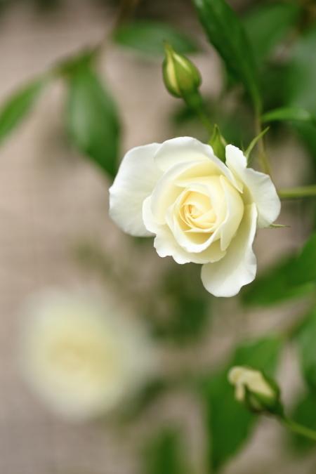 GW 2017 薔薇が咲きました