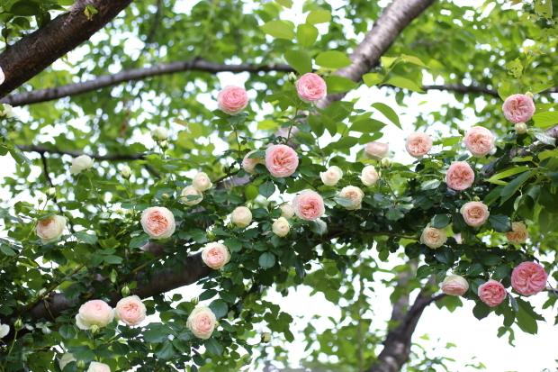 薔薇撮り YEG 2017
