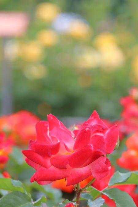 神代植物園の薔薇 05/19/2017