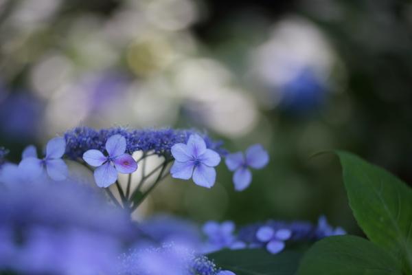 浄慶寺の紫陽花 2017