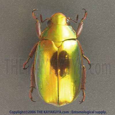 4911Chrysina20optima20f20gold20.jpg