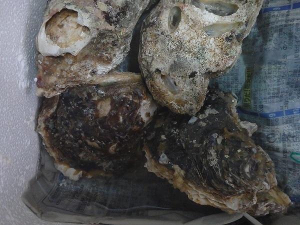 岩牡蠣 0828