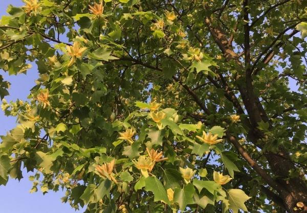 2017-05-23チューリップの木