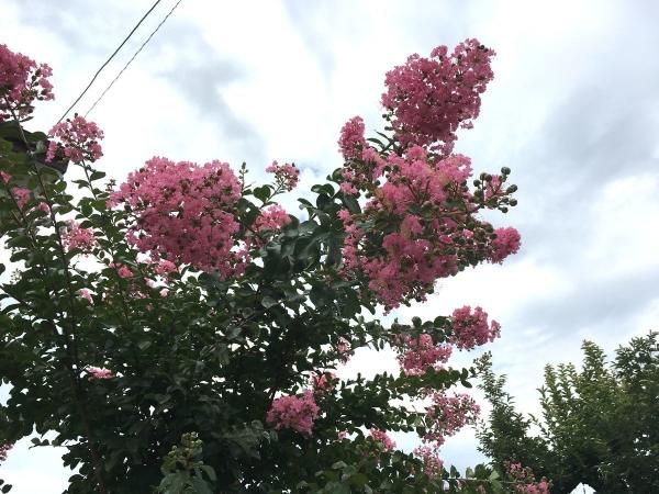 2017-07-30 百日紅