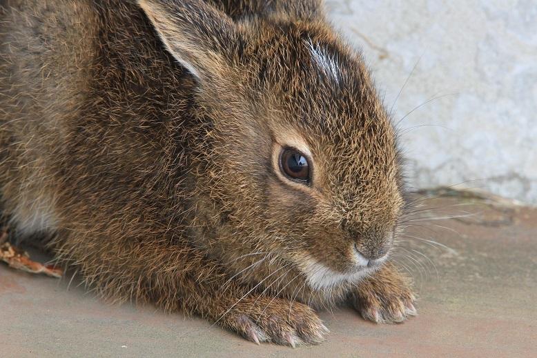 サドノウサギ