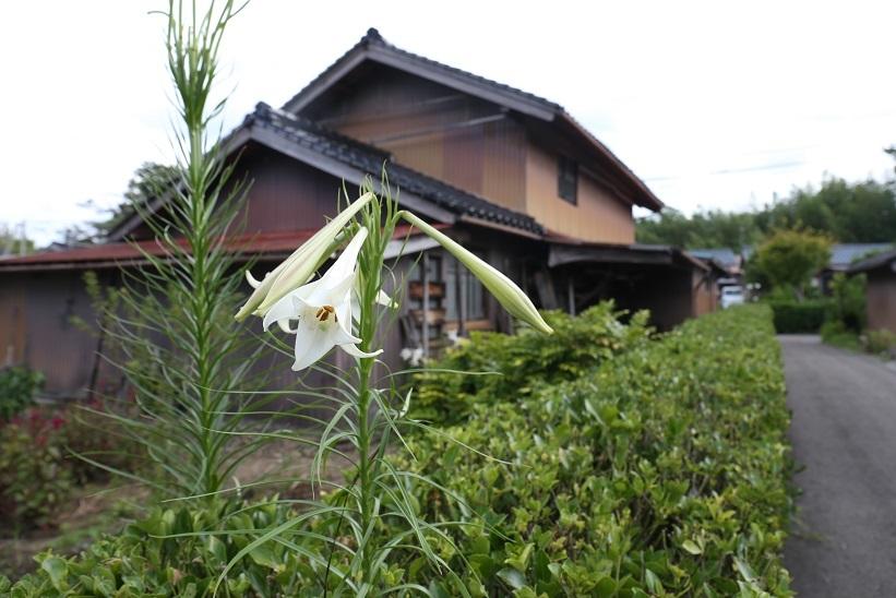 タカサゴユリ5