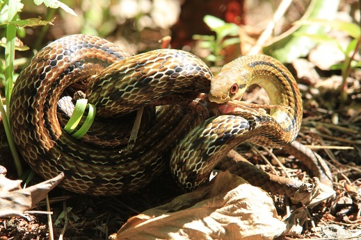 シマヘビ1