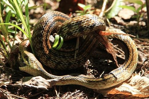シマヘビ2