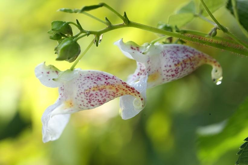 ツリフネソウ白花斑点2