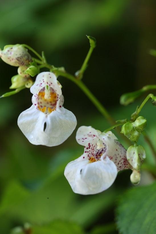 ツリフネソウ白花斑点3