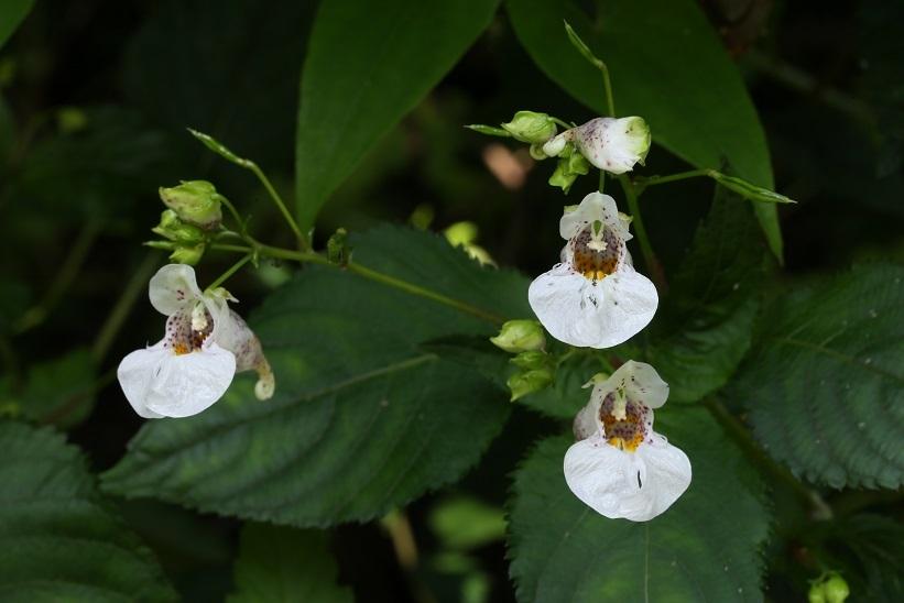 ツリフネソウ白花斑点4
