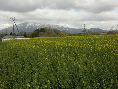 菜の花畑002