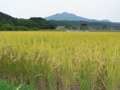 岩木山と黄金色の稲穂