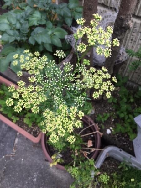 0524イタリアンパセリの花
