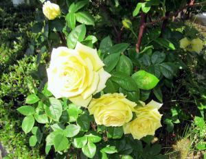 花壇に咲いていたバラがキレイでした