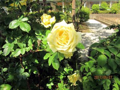バラの季節ですね~