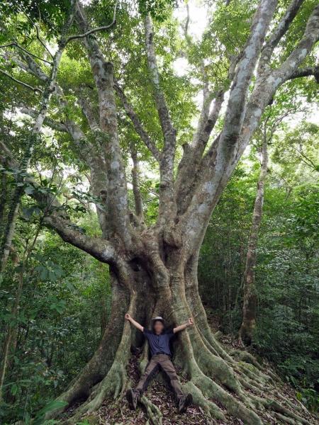ウラジロガシの巨木 border=