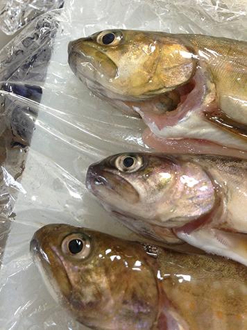 2017 6 26 岩魚とあまご02