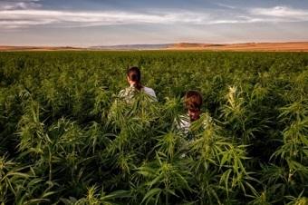 イタリアの大麻事情