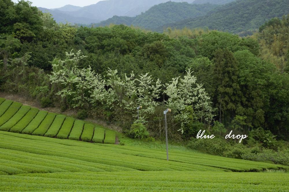 茶畑と針槐(はりえんじゅ)