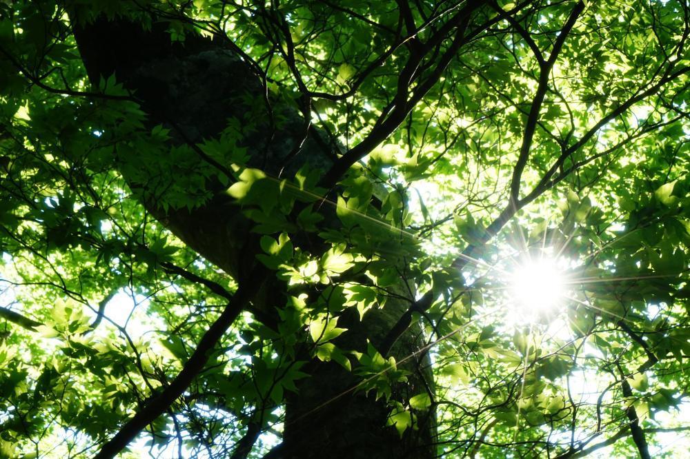 朝陽と新緑*