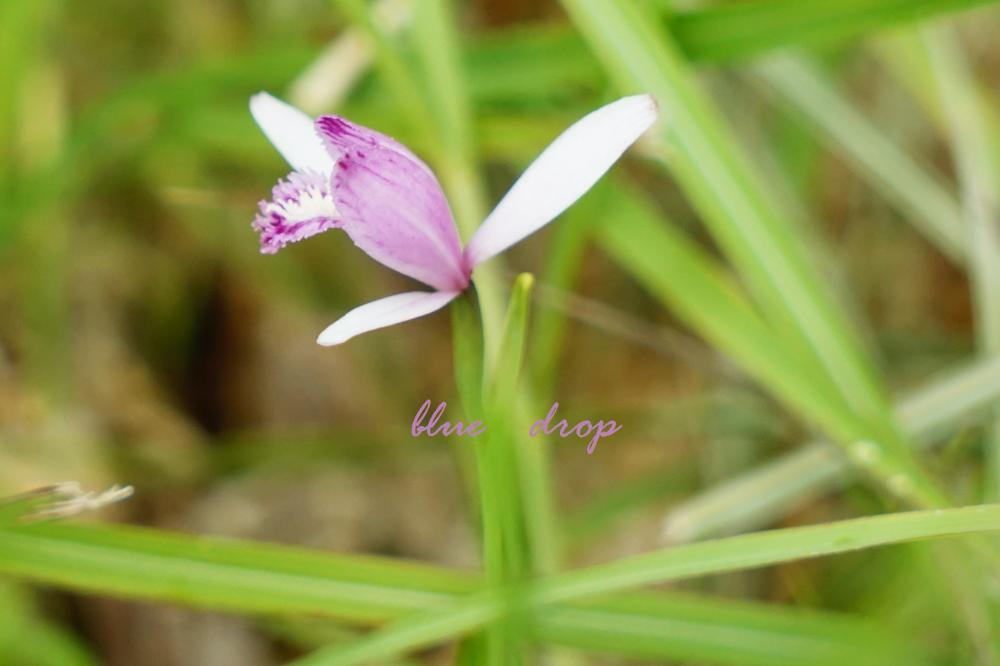 朱鷺色の花