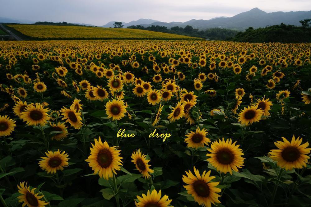 ひまわりの咲く丘