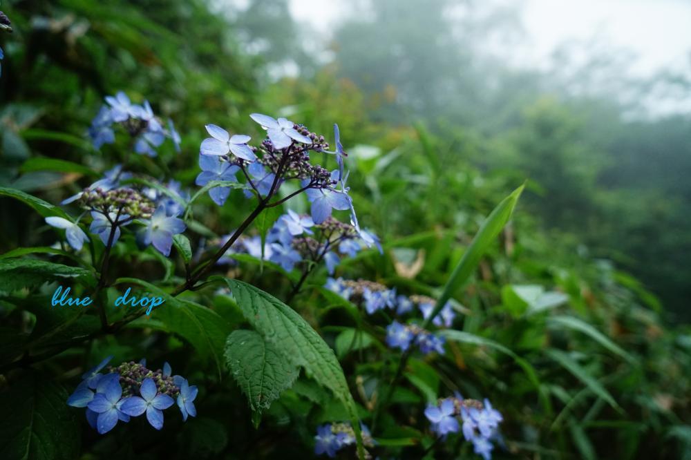 霧と山紫陽花