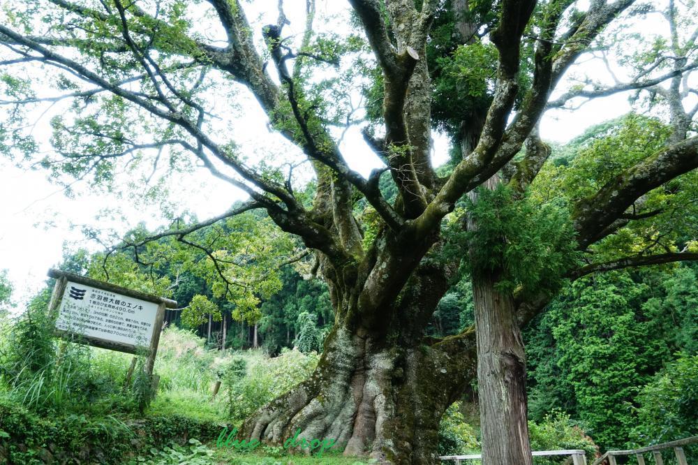 エノキの樹