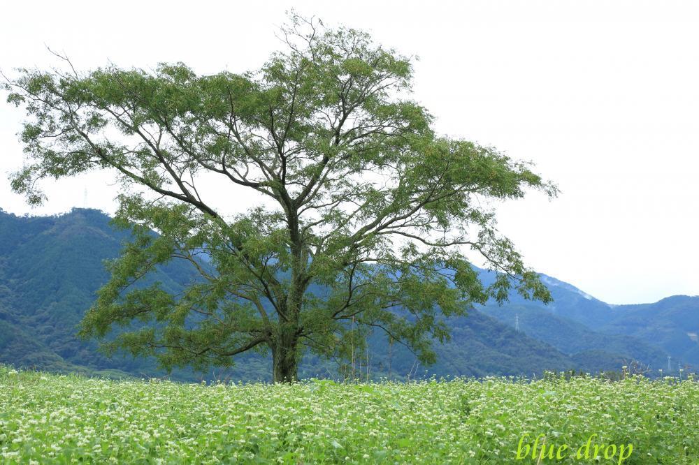 蕎麦畑の木