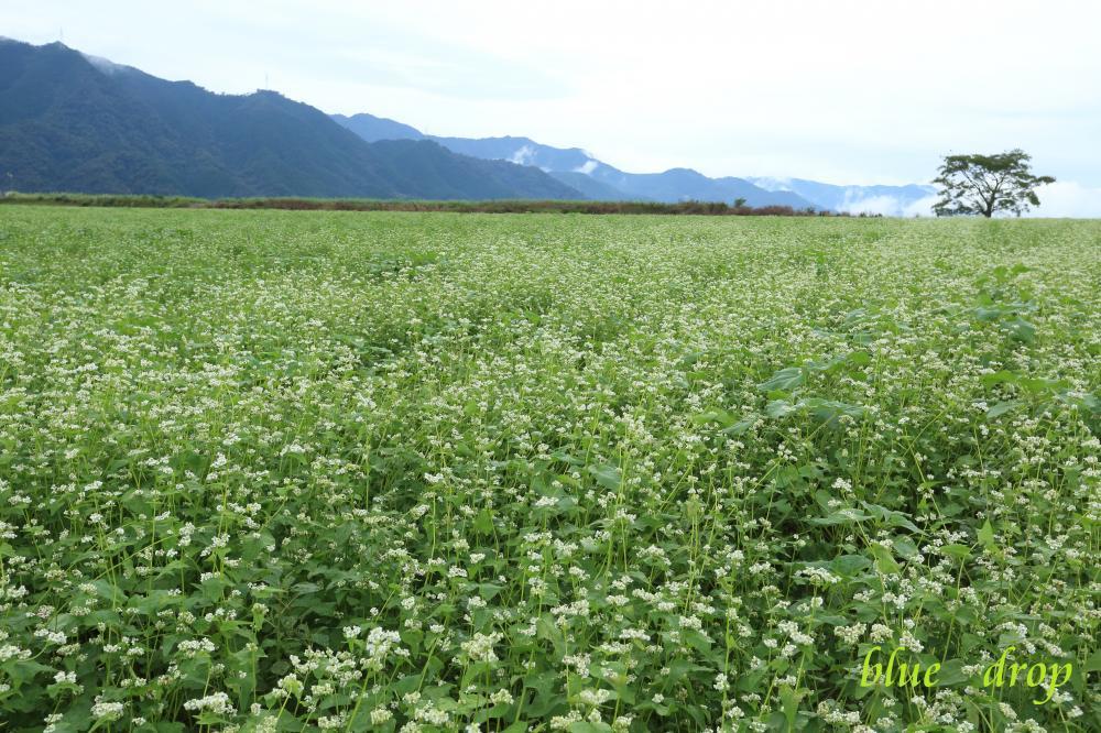 蕎麦の咲く丘