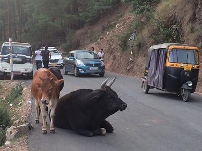 cow-tuktuk